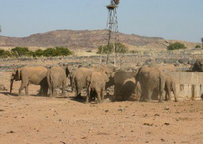 H2 herd drinking water at farm Namibia