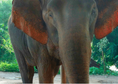 Elephant Family Volunteering Elephant Welfare Project in Chiang Mai in Thailand