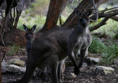 Kangaroos environmental conservation in Australia