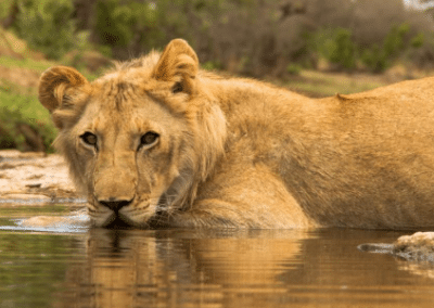 Lion wading in water Victoria Falls Lion Rehabilitation in Zimbabwe