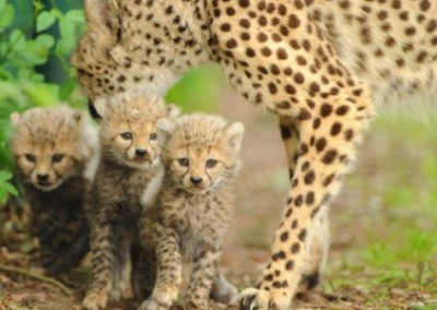 Cheetah family Family Volunteering Building to Kruger Adventure