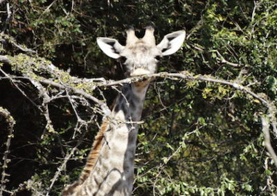 Faciliated Research Internship in Southern Africa giraffe